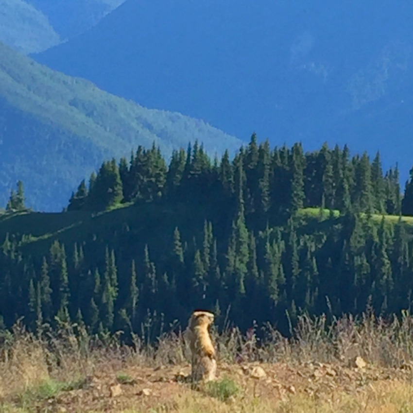 marmot at hurricane ridge